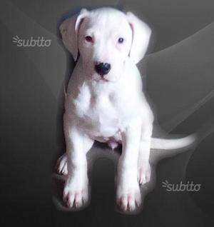 Cuccioli Dogo Argentino speciali
