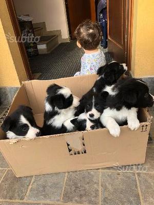 Cuccioli border collie