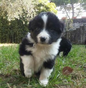Cuccioli border collie e australian shepherd