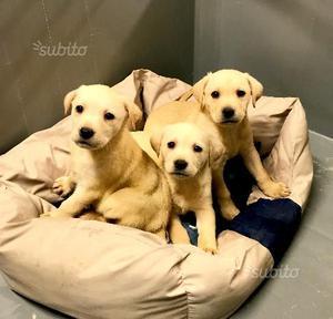 Cuccioli di Labrador da compagnia