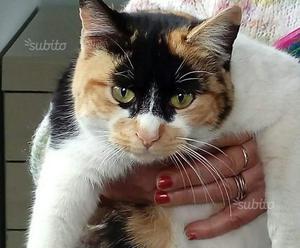 Efrem, coccolosissima gatta tricolore