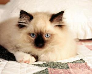 Gattino sacro di Birmania maschio
