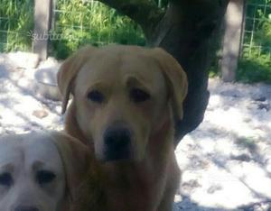 Labrador maschio di 3 anni