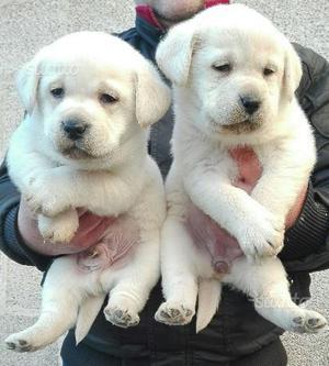 Meravigliosi Cuccioli Labrador con Pedigree ENCI