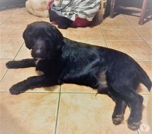 Obelix, cane bassettoide, 8 mesi, taglia media.