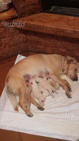 Regalo cuccioli di cane razza meticcia