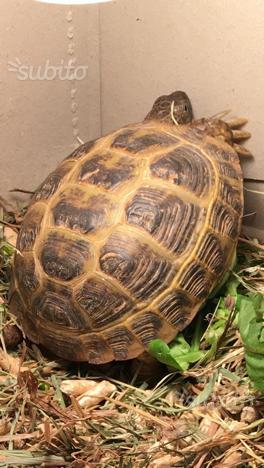 Tartaruga maschio horsfieldi