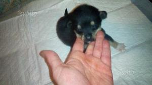 Ultimo meraviglioso cucciolo yorkshire chihuahua