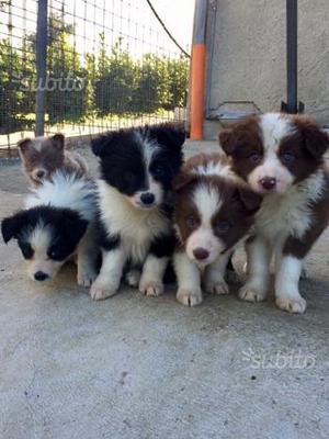 Border Collie con pedigree