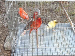 Canarini e iibridi dai colori intensi