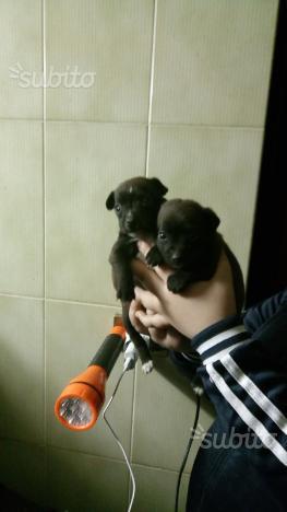 Chihuahua maschietto 3 mesi