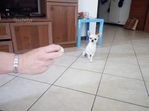 Chihuahua stallone per accoppiamento monta