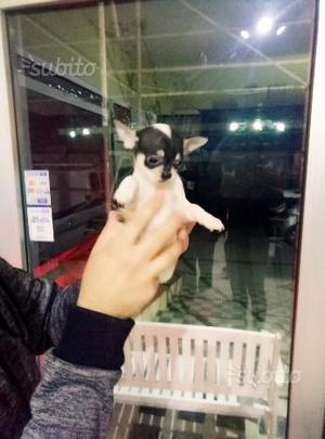 Chihuahua super mini