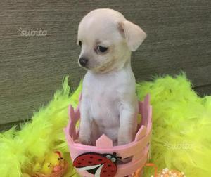Cucciola di Chihuahua con pedegree