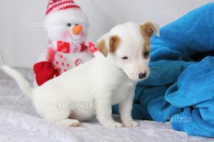 Cucciolo di Jack Russell bianco e arancio