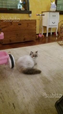 Gattina persiana