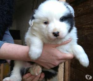 vendo cuccioli pastore australiano