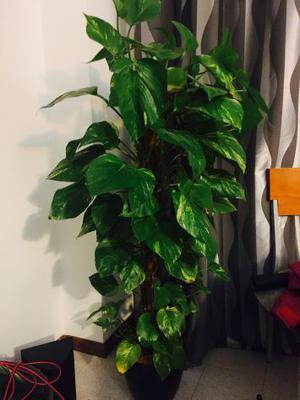 Pianta sempreverde arbusto x siepe vaso basta 🥇   Posot Class