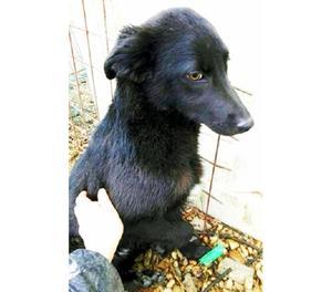 OSCAR cucciolo TOTAL BLACK dolcissimo in gabbia!
