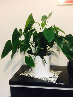 vaso con pianta VERA, decoro casa/ufficio