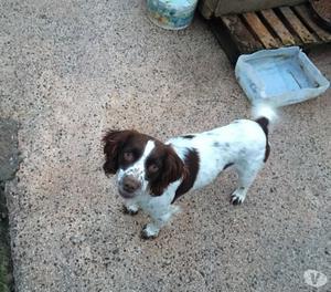 Margherita: cucciola springerspaniel cerca stallo o adozione