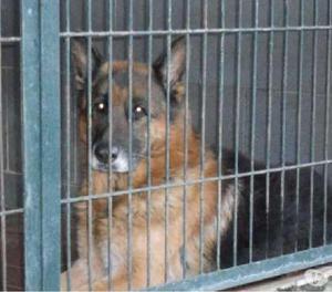 Loris stupendo pastore tedesco da salvare dalla perrera