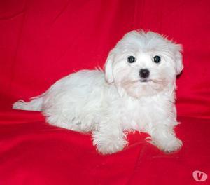 Maltese, cucciolo femmina di taglia piccola