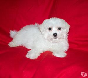 Maltese, cucciolo maschio di taglia piccola