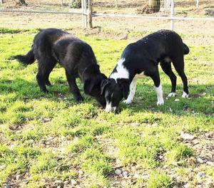 CLIZIA meravigliosa, buona cucciolona mix Labrador 16 mesi