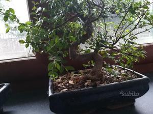 Bonsai di pino mugo doppio tronco posot class for Bonsai vendo