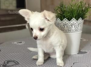 Chihuahua femmina pelo lungo bianco