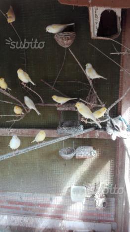 Coppie canarini
