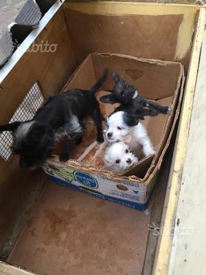 Cuccioli chihuahua di 2 mesi