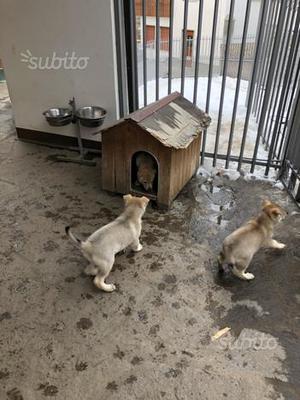 Cuccioli di lupo cecoslovacco 2 mesi