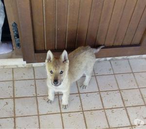 Cuccioli di lupo cecoslovacco
