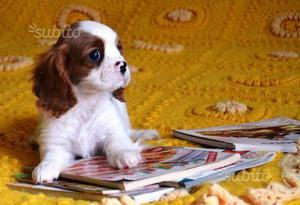 Cucciolo Cavalier King BL