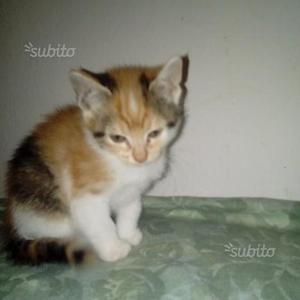 Favolosi gattini incrocio maine coon