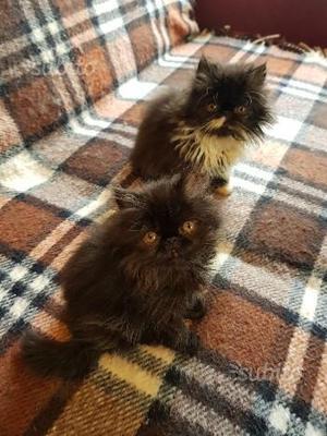 Gattini persiani ipertipici puri