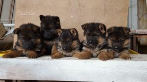 Meravigliosi Pastore tedesco cuccioli