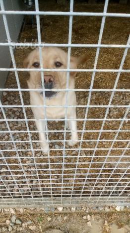 Regalo Labrador maschio di 3 anni