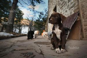 Regalo cuccioli di tre mesi Bracco/Breton