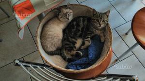 Regalo gattini 7-8 mesi gia sverminati