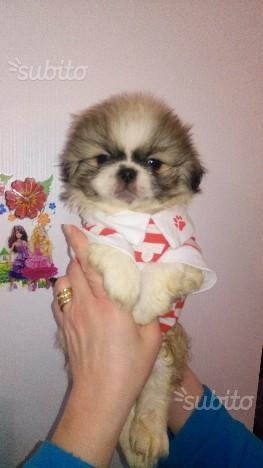Shihtzu maschio cucciolo 2 mesi