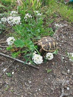 Cedo incubatrice per rettili e tartarughe posot class for Termoriscaldatore per tartarughe