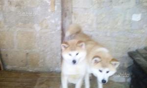 Akita inu con pedigree