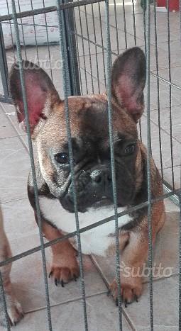 Bulldog francese con pedigree ENCI