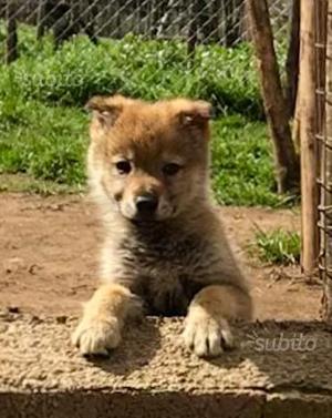 Cane lupo cecoslovacco con pedigree