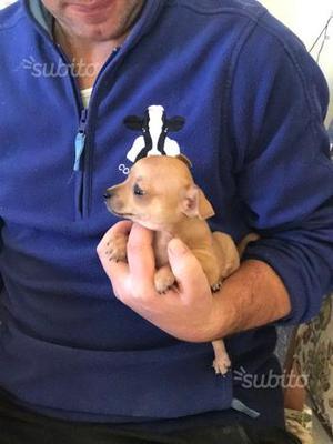Chihuahua X Pinscher super Toy da Borsetta