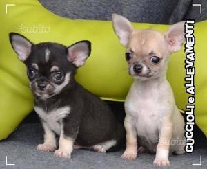 Chihuahua cuccioli - Pedigree - Allevamento