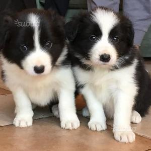 Magnifici Cuccioli di Border Collie